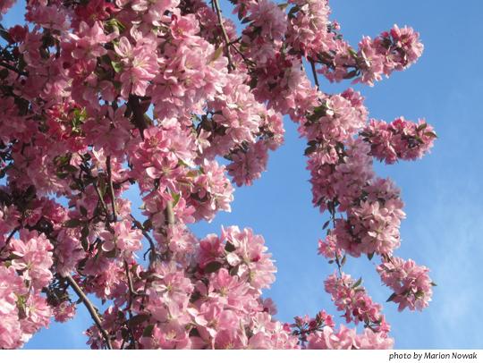 FloweringTree9591